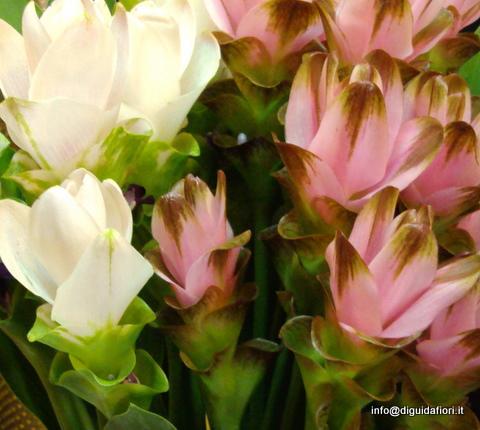 Curcuma - immagine da http://www.diguidafiori.it/
