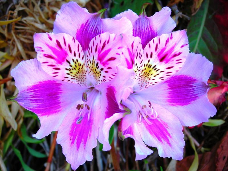 Alstroemeria Immagine dal sito houzbuzz.com