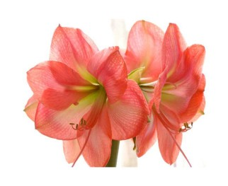 Amaryllis - matrimonioinvernale.it