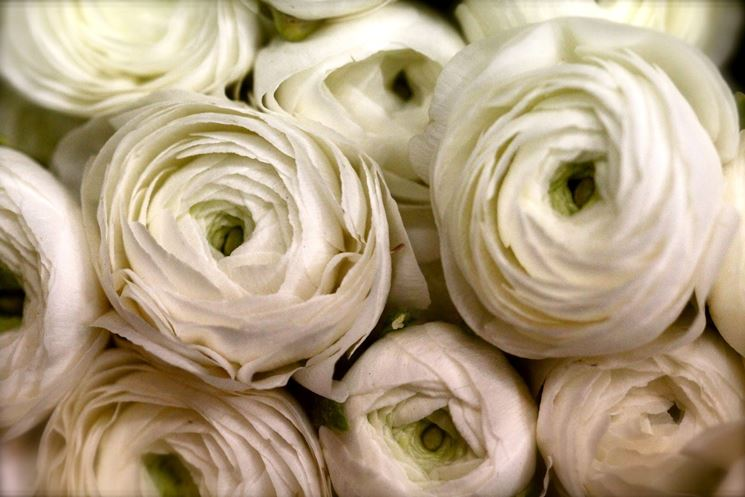 Ranuncolo - foto via giardinaggio.net