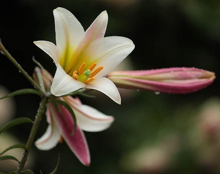 Lilium - foto via giardinaggio.it