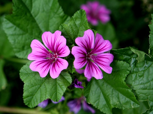 Siero viso alla malva - foto via cure-naturali.it